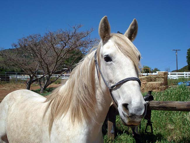 white mustang horse